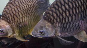 Large crucian carp Royalty Free Stock Photo