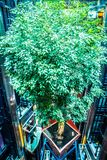 Large cruise ship lobby with real live green tree suspended Royalty Free Stock Photography