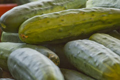 Large Cucumbers Stock Photography