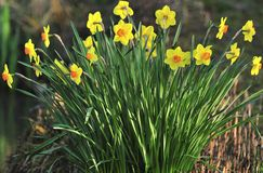 Large cup hybrid Daffodils Stock Photo