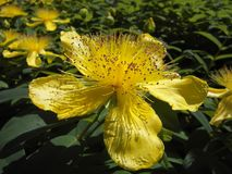 Large Cup St John'S Wort, Flower Royalty Free Stock Photography