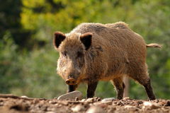 Large curious boar Royalty Free Stock Photos