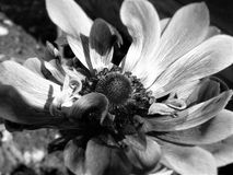 Large Curly petaled  Flower in black and white. close up. Large curly petaled flower taken in black and white or monochrome. Showing up much texture and detail Royalty Free Stock Photography