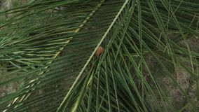 Large cut palm leaf on the lawn in tropical park stock footage video. Large cut palm leaf on the lawn in a tropical park stock footage video stock video footage