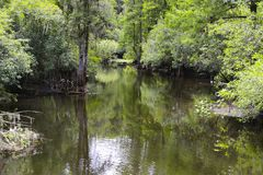 Large Cypress Trees in Florida Swamp. Large cypress tress along the water in a Florida swamp near Tapa stock images