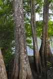 Large Cypress Trees in Florida Swamp. Large cypress tress along the water in a Florida swamp near Tapa stock photography