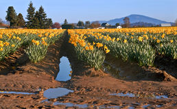 Large Daffodil Field After a Spring Rain Stock Images