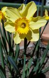 Large Daffodil Stock Images