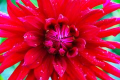 A large dahlia flower is bright red with raindrops on the petals. Photo taken close-up. Royalty Free Stock Photo