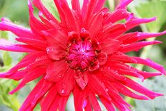 A large dahlia flower is bright red with raindrops on the petals. Photo taken close-up. Royalty Free Stock Image