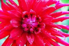 A large dahlia flower is bright red with raindrops on the petals. Photo taken close-up. Stock Photos
