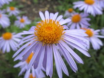 Large Daisey close up. A simple yet elegant large Daisey in the summer sun Royalty Free Stock Photo