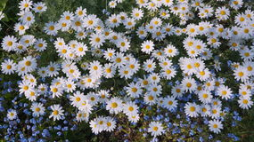 Large Daisies Stock Photography