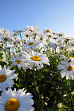 Large of eye daisies in summer sun Stock Image