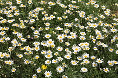 Large Daisies Royalty Free Stock Photos