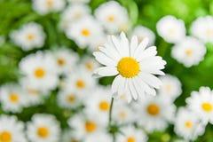 Large daisy Stock Photo