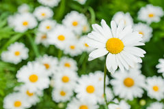 Large daisy Stock Images