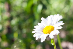 Large daisy Stock Photography