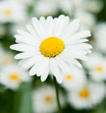 Large daisy Royalty Free Stock Images