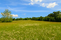 Large Daisy Field Stock Photo