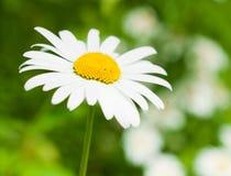 Large daisy Stock Photos