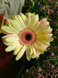 Large Daisy in flower arrangement. Very Large Cream Colored Daisy in a flower arrangement with tiny, pink blossoms in the background. Daisy has an intricately stock photo