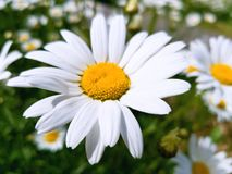 Large Daisy flower on a background of a chamomile field in a bright Sunny day. Bright white petals and yellow center of the flower.  royalty free stock image