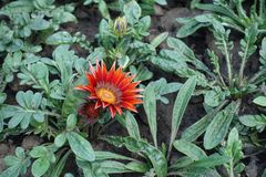 Large flowerhead of Gazania in brilliant shades of red Stock Photo