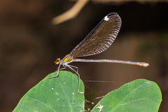 Large damselfly Royalty Free Stock Photography