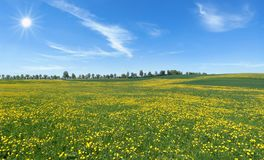 Large dandelion flower meadow in the sunshine. Large dandelion flower meadow - rural landscape in spring in the sunshine stock photos