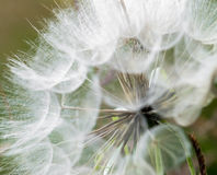 Large dandelion flowers parachutes Royalty Free Stock Image
