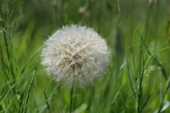 Large Dandelion. In grass field Royalty Free Stock Photo