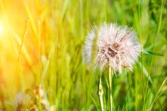 A large dandelion in the green grass. Vegetation. Weeds. Space for text. Sun glare stock images