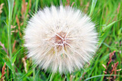 Large dandelion in green grass Stock Image