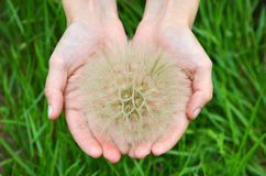 Large dandelion in hand Royalty Free Stock Images