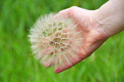 Large dandelion in hand Stock Photos