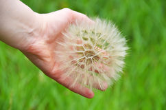 Large dandelion in hand Royalty Free Stock Photos