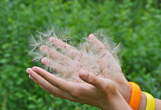 Large dandelion seed in hand Royalty Free Stock Photography