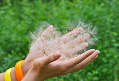 Large dandelion seed in hand Stock Photography