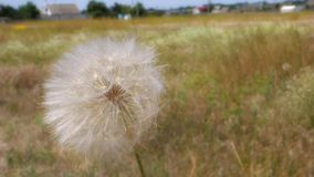 Large dandelion. Sways in the wind. Closeup stock footage