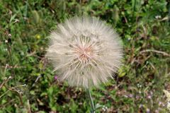 Large Dandelion or Taraxacum flower on green grass background. Large Dandelion or Taraxacum flower head composed of numerous small florets with green leaves and stock images