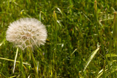 Large dandelion (Tragopogon coelesyriacus ) with spikelet in the background. Spring Stock Images