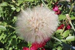 Large dandelion of Tragopogon plant stock photos