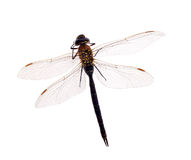 Large dark dragonfly isolated on white Royalty Free Stock Photos