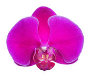 Large dark pink orchid flower on white Royalty Free Stock Photo