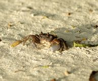 Large Dark Sand Crab looking up Royalty Free Stock Photos
