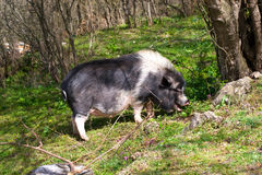 Large dark spotted pig in the forest among the trees. And rocks with funny open mouth royalty free stock photos