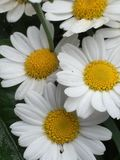Large Dasies. Big large daises with there white and yellow trade mark, this close up shows all the detail in the middle of this flower Stock Photography