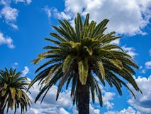 Large Date palms and blue sky background with clouds royalty free stock photography