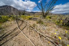 Large, dead Ocotillo plant cactus lays on the desert ground in Anza Borrego Desert State Park in California. Wildflowers surround. The plant stock photography
